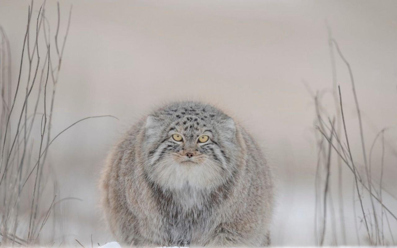 Особое упоминание в категории «Природа, морская жизнь, дикие животные», 2020. Манул (палласов кот) в Монголии. Фотограф Джошуа Холко