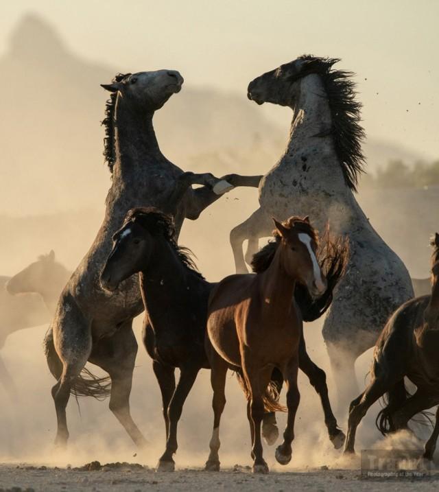 Дикие лошади в штате Юта, США. Победитель в категории «Острые впечатления и приключения», 2019. Автор Брайан Клопп