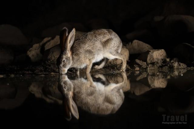 Заяц на водопое. Поощрительная премия в категории «От заката до рассвета», 2019. Автор Глинис Шоу