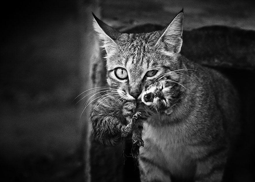 Таинственная кошачья жизнь в чёрно-белых фотографиях-103