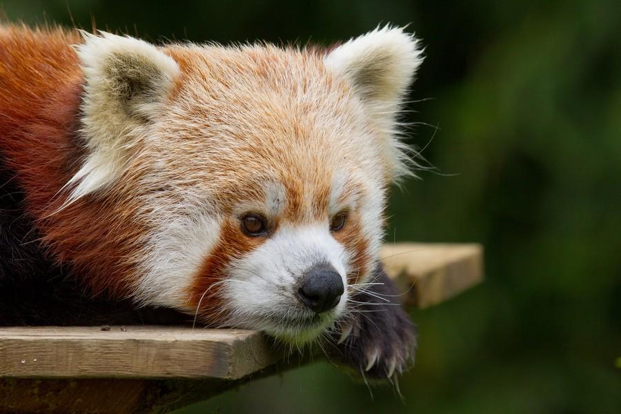 Необычайно фотогеничные красные панды (39 фото)
