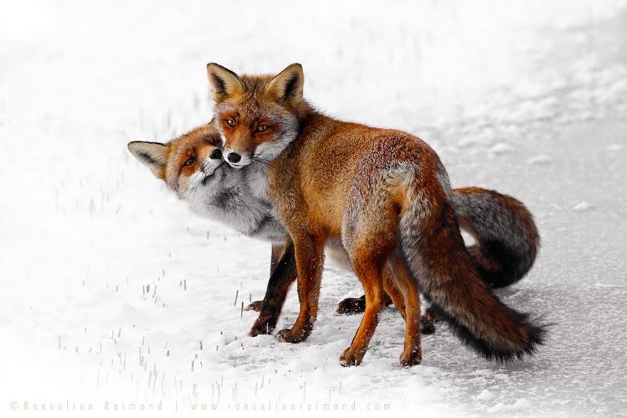 Непредсказуемые дикие лисы в фотографиях Розелин Реймонд-23