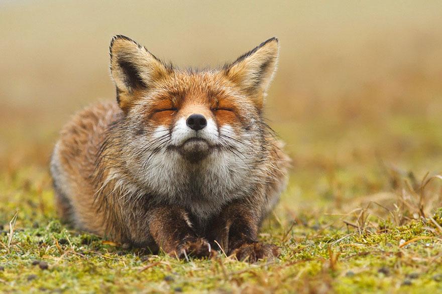 Непредсказуемые дикие лисы в фотографиях Розелин Реймонд-1