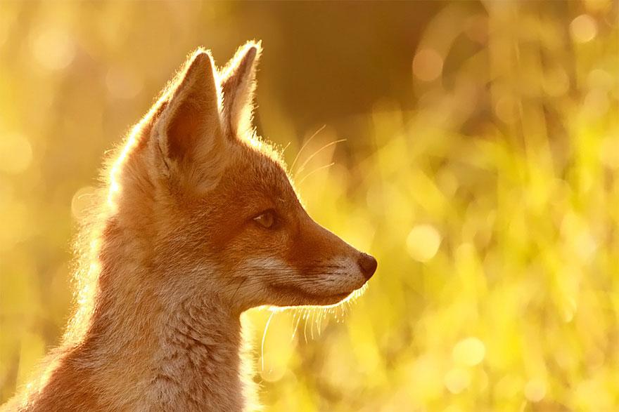 Непредсказуемые дикие лисы в фотографиях Розелин Реймонд-6