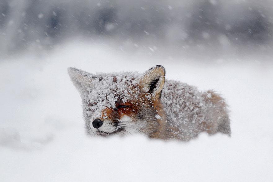 Непредсказуемые дикие лисы в фотографиях Розелин Реймонд-5