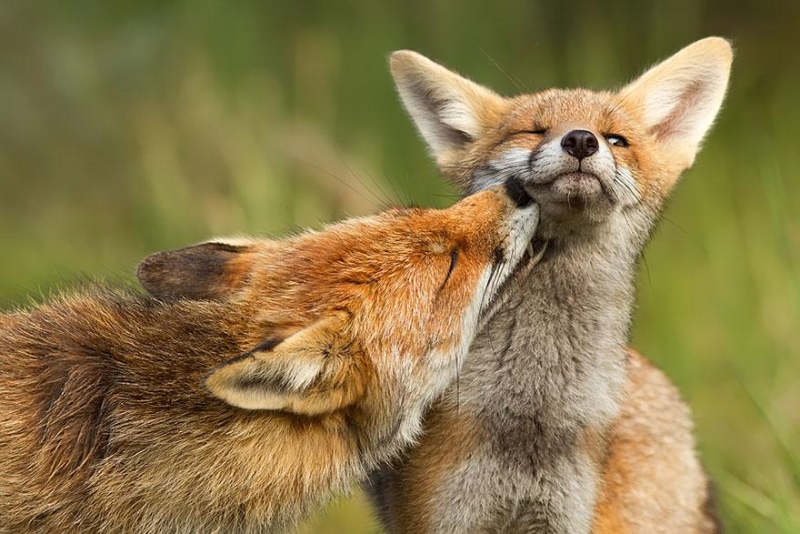 Непредсказуемые дикие лисы в фотографиях Розелин Реймонд-7
