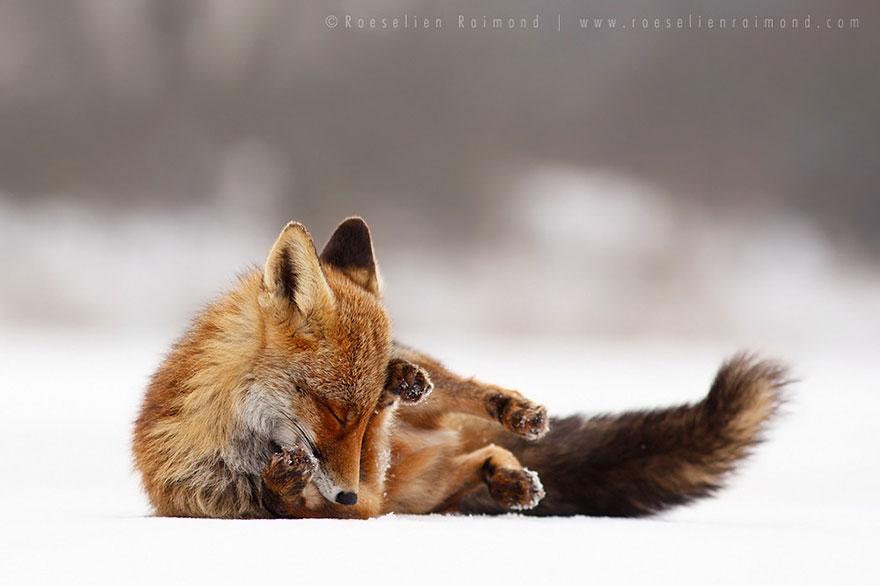 Непредсказуемые дикие лисы в фотографиях Розелин Реймонд-24