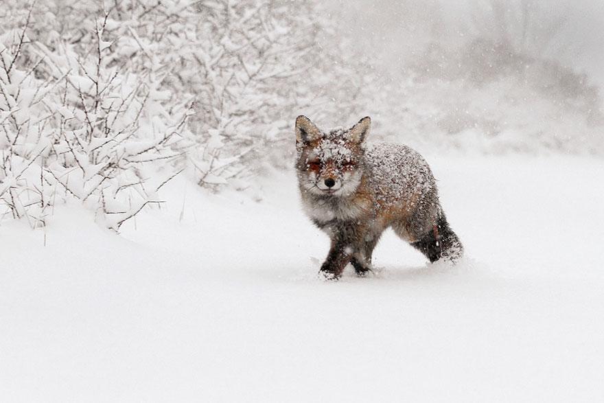 Непредсказуемые дикие лисы в фотографиях Розелин Реймонд-10