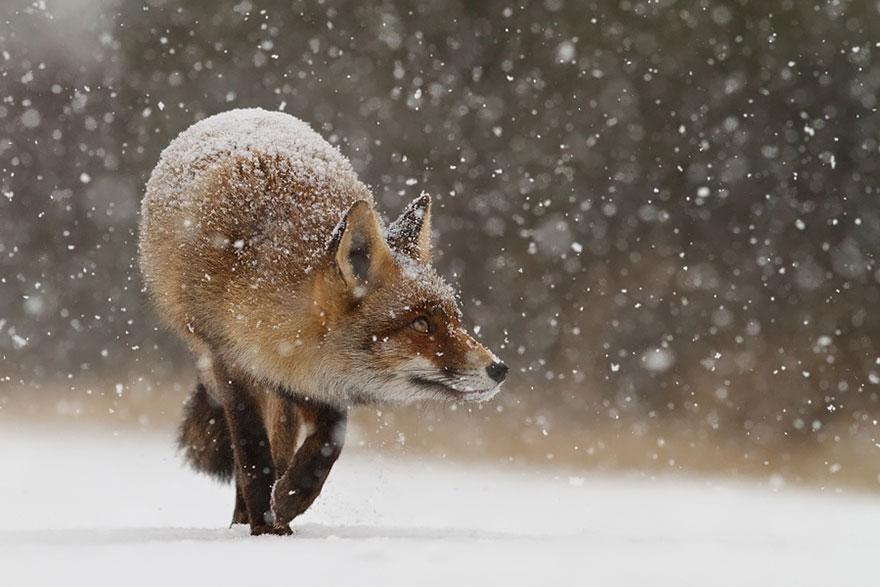 Непредсказуемые дикие лисы в фотографиях Розелин Реймонд-17