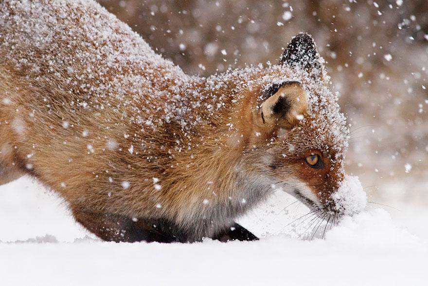 Непредсказуемые дикие лисы в фотографиях Розелин Реймонд-19