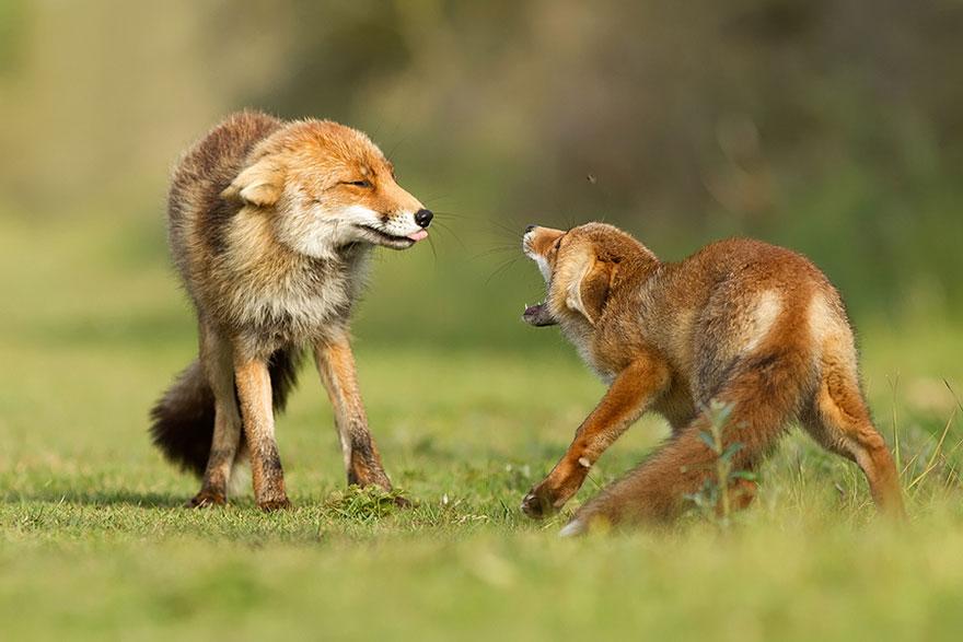 Непредсказуемые дикие лисы в фотографиях Розелин Реймонд-8