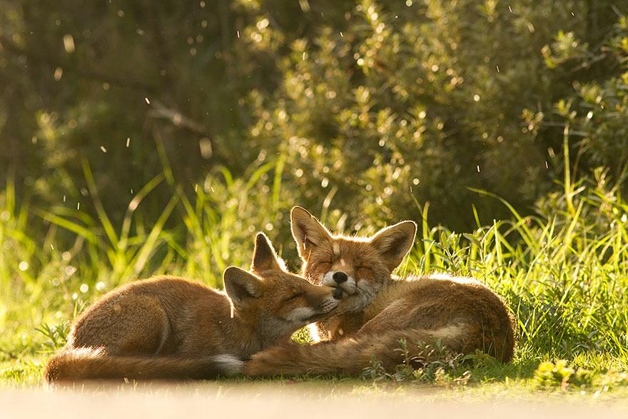 Непредсказуемые дикие лисы в фотографиях Розелин Реймонд-11