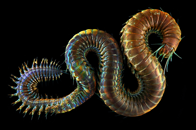 Creatures from Your Dreams and Nightmares: Unbelievable Marine Worms Photographed by Alexander Semenov