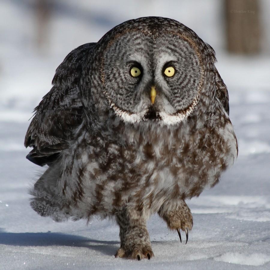 готовые картинка сердитая сова этот