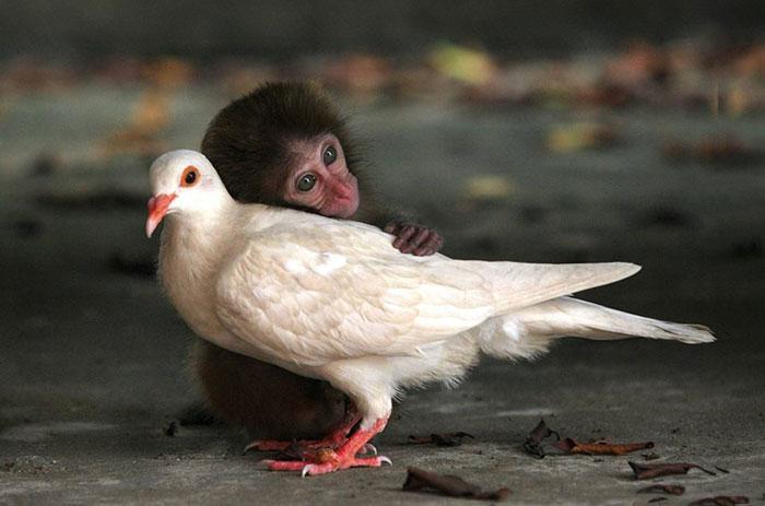 Обезьяна и голубь 18