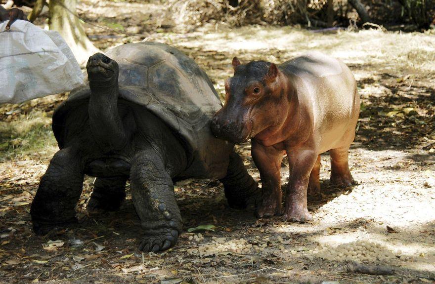 Черепаха и детёныш бегемота