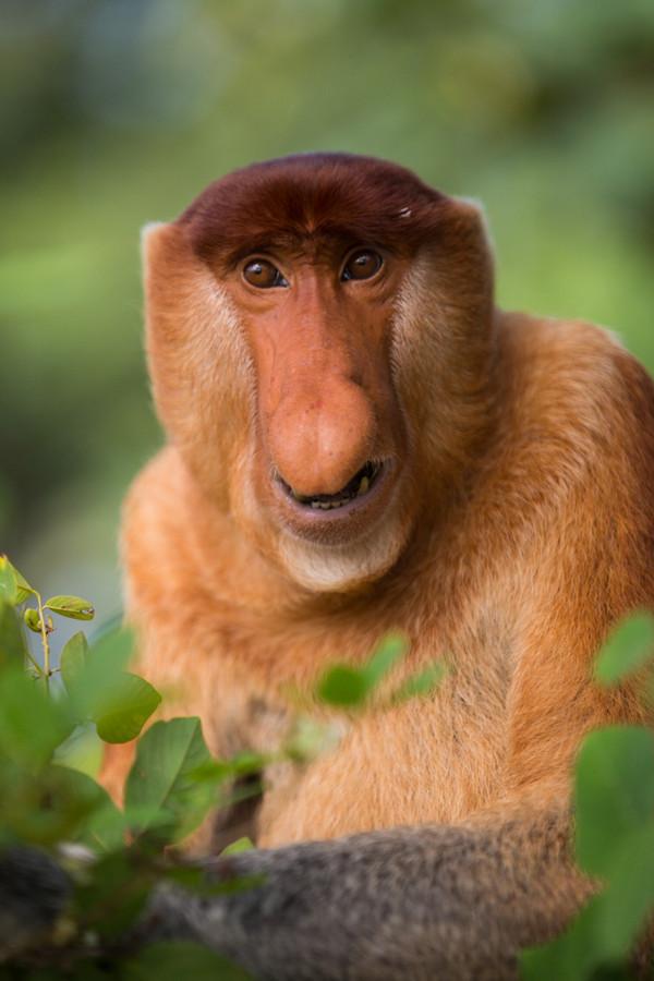 него картинки обезьян с длинным носом ценами, гарантия, доставка