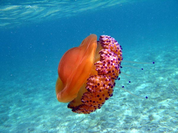 Jellyfish-pictures-15