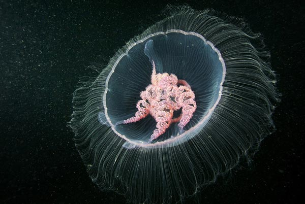 Jellyfish-pictures-3
