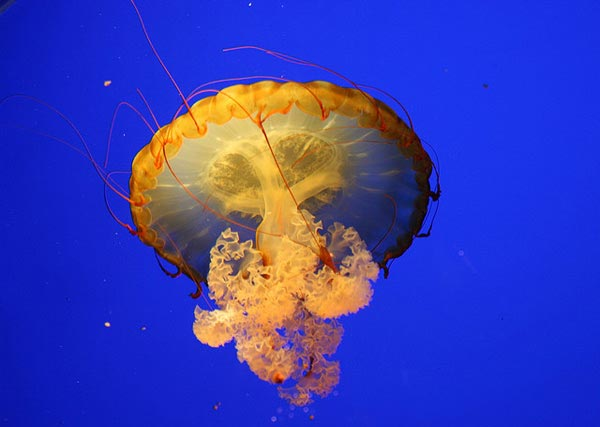 Jellyfish-pictures-8