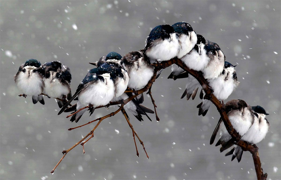 birds-on-a-branch-during-a-snowstorm