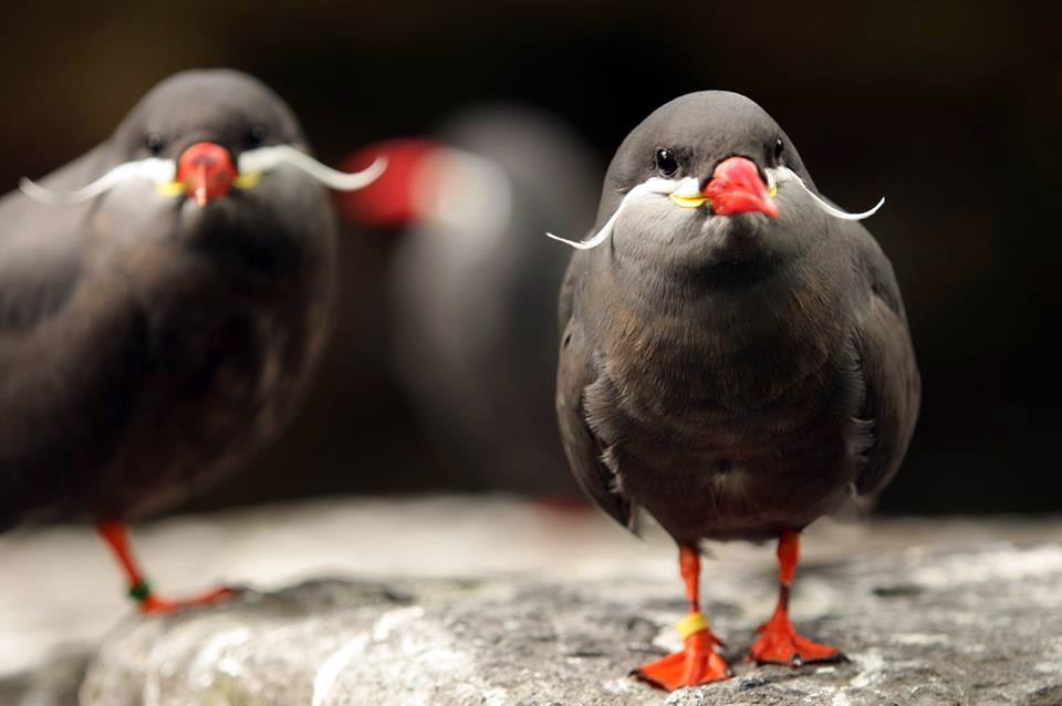 the-inca-tern-birds-with-mustaches