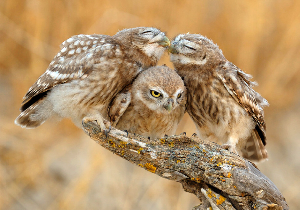 you-two-owls-should-get-a-room
