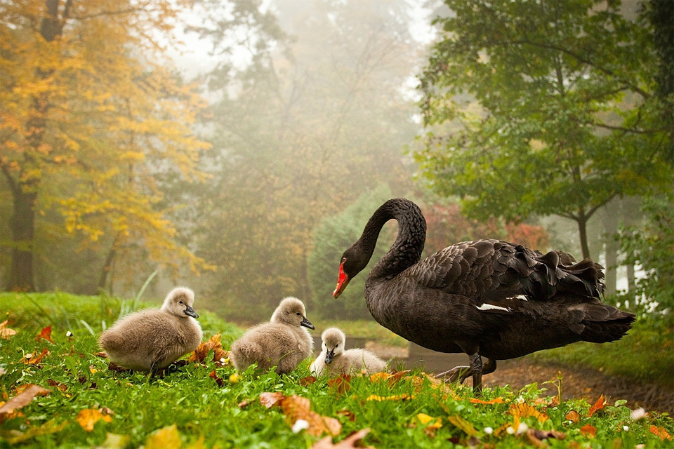black-swan-with-babies