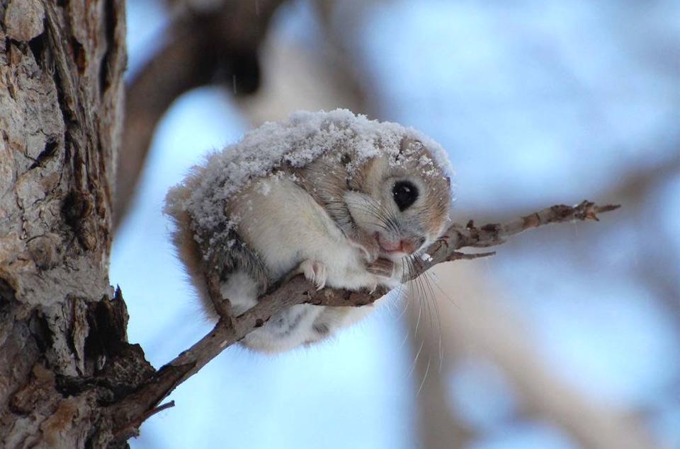 cute-japanese-dwarf-flying-squirrel
