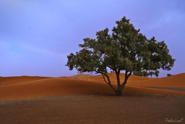 Merzouga-desert-tree