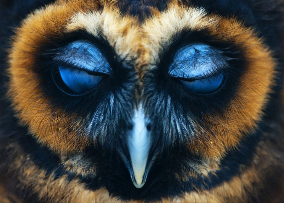 an-owl-with-closed-eyes7