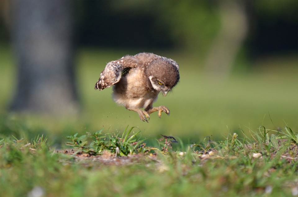 baby-owl-learning-to-fly10
