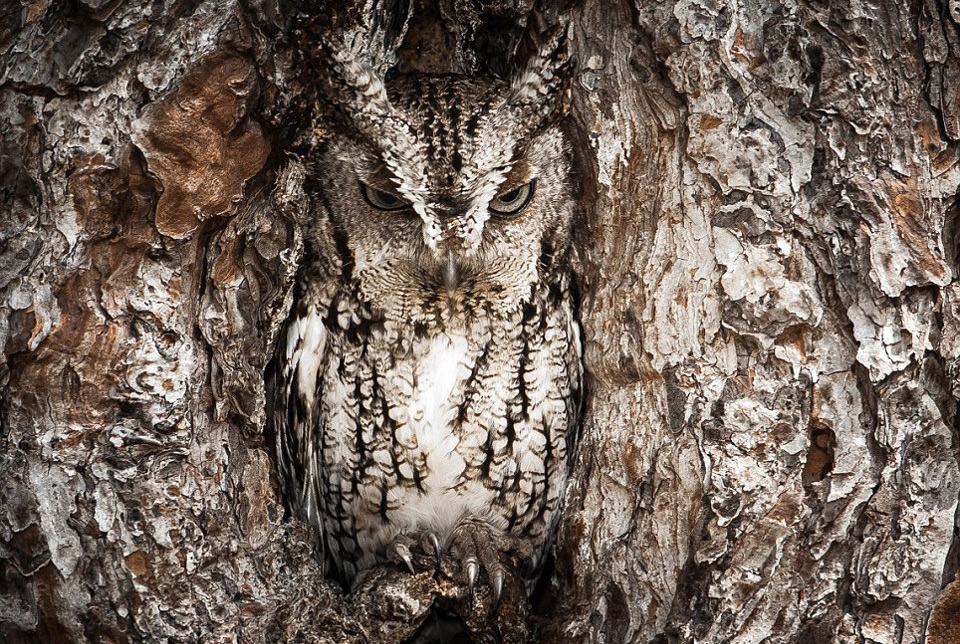 owl-the-master-of-camouflage4