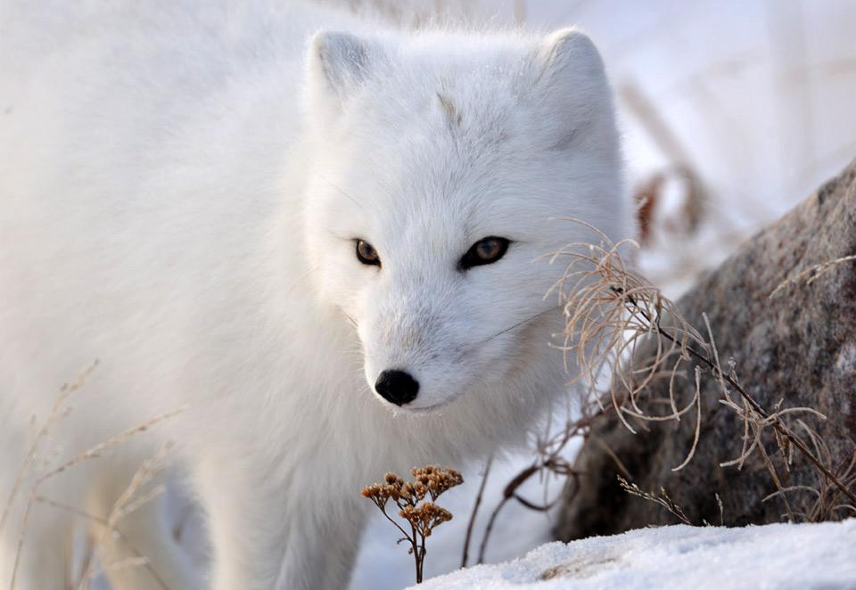Фотография животных арктических пустынь