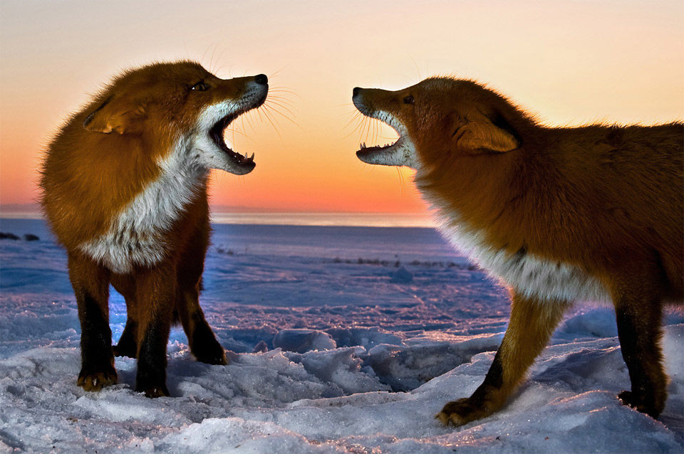 6two-foxes-snarling-at-each-other