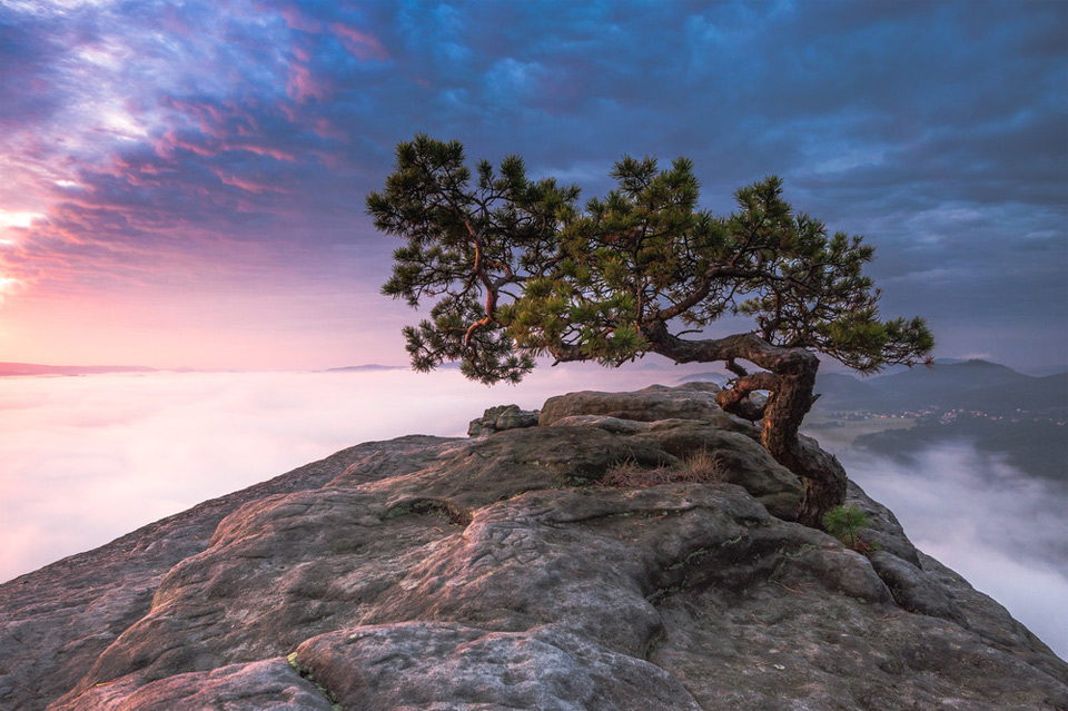 18old-pine-tree-saxon-switzerland