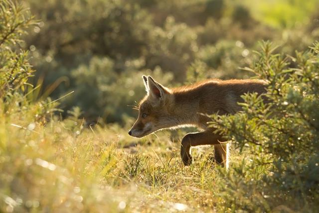 Дикие лисы в фотографиях Розелин Реймонд