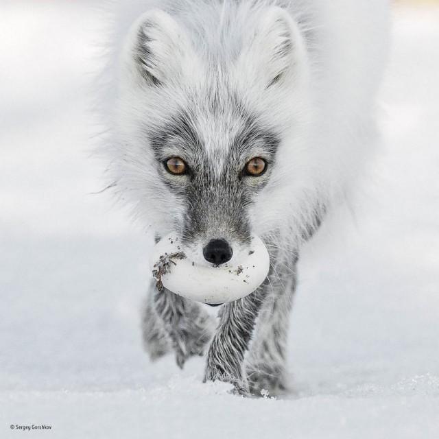 Лучшие фотографии дикой природы с конкурса Wildlife Photographer of the Year 2017