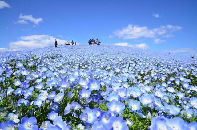 Поле цвета неба: в японском парке расцвели немофилы