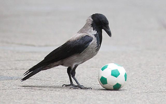 Удивительная статья о воронах, которые разбираются в тебе намного лучше, чем ты в них