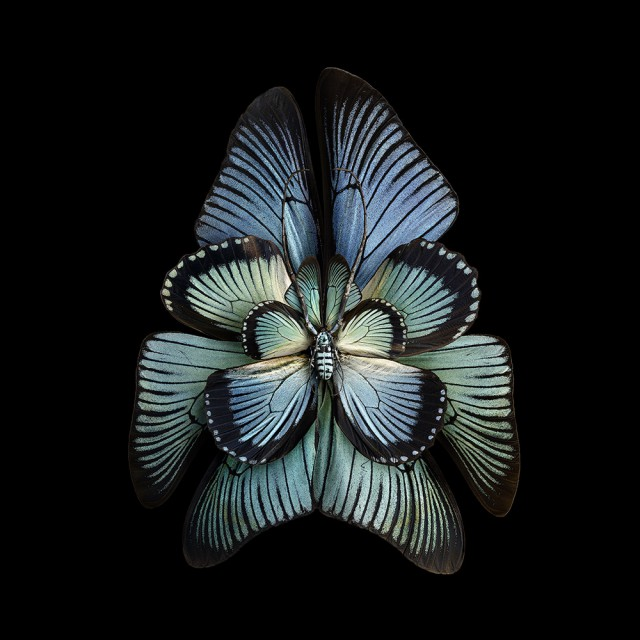 Цветы из крыльев насекомых. Фотограф Себ Жаньяк