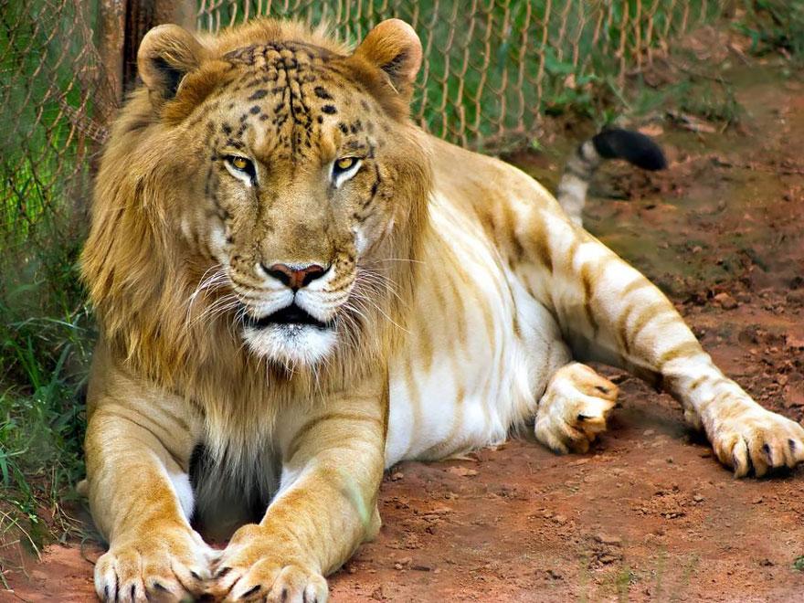 18 гибридных животных, в существование которых трудно поверить-2