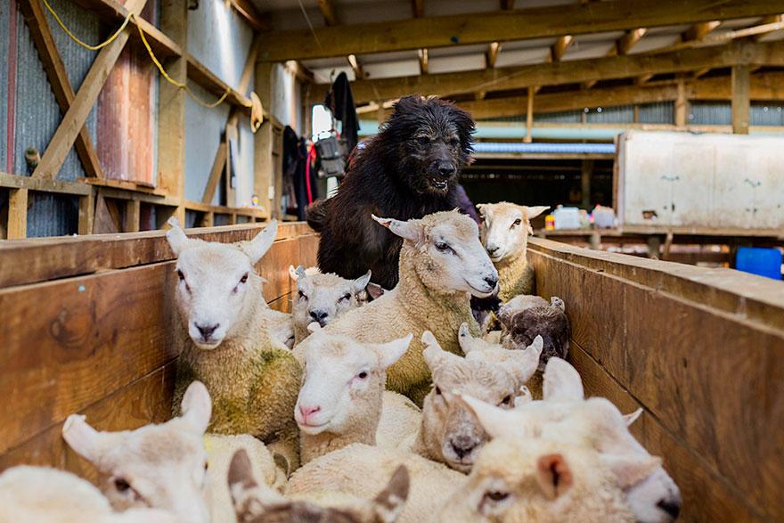 Портреты самых трудолюбивых собак в мире от Эндрю Флейдбо-6
