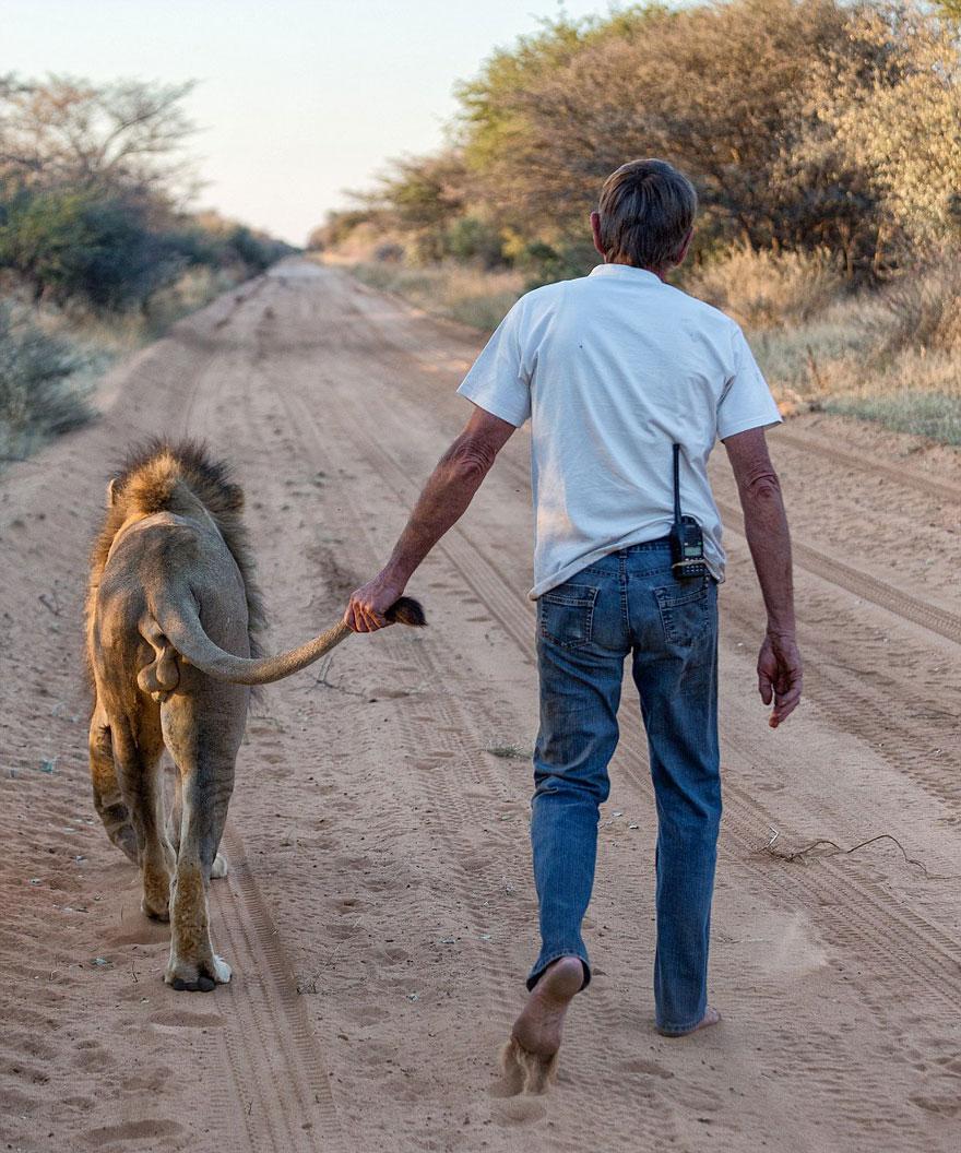 Лев 11 лет дружит с человеком, который его вырастил-2
