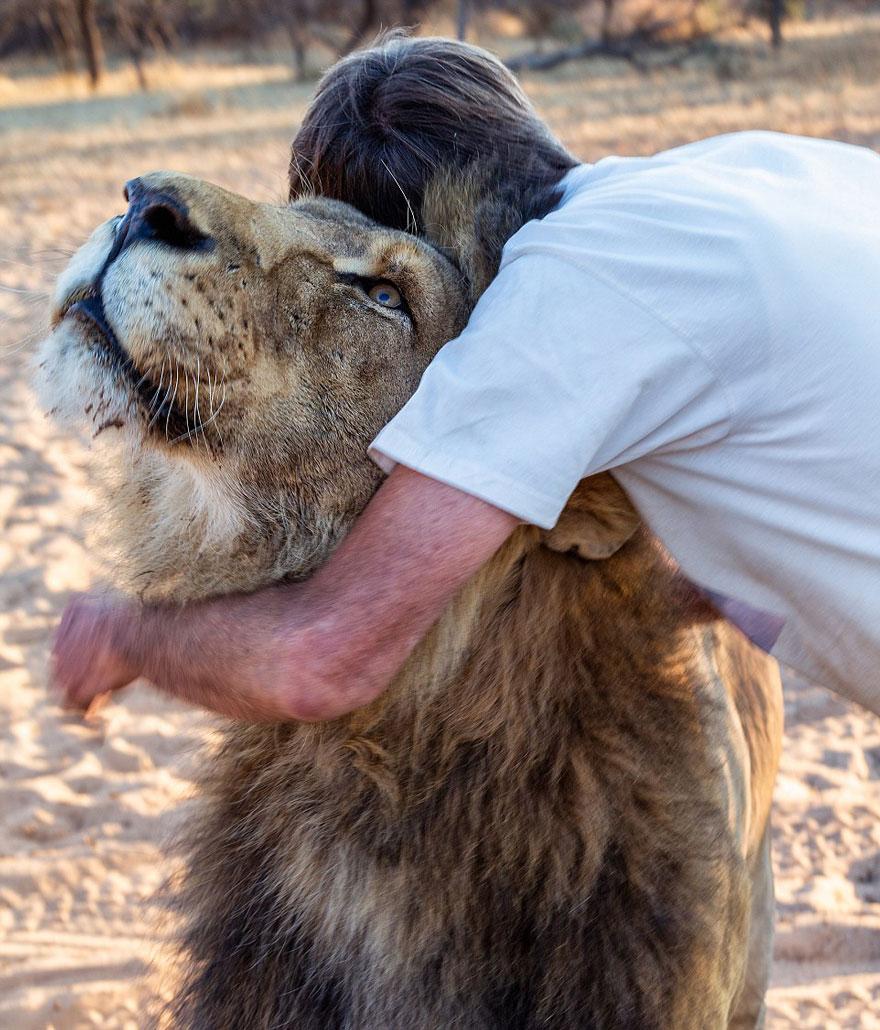 Лев 11 лет дружит с человеком, который его вырастил-8