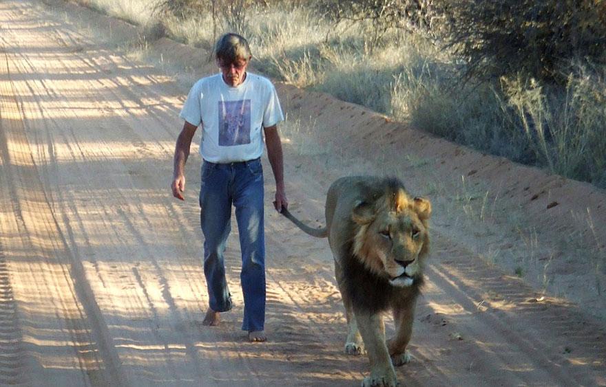 Лев 11 лет дружит с человеком, который его вырастил-3