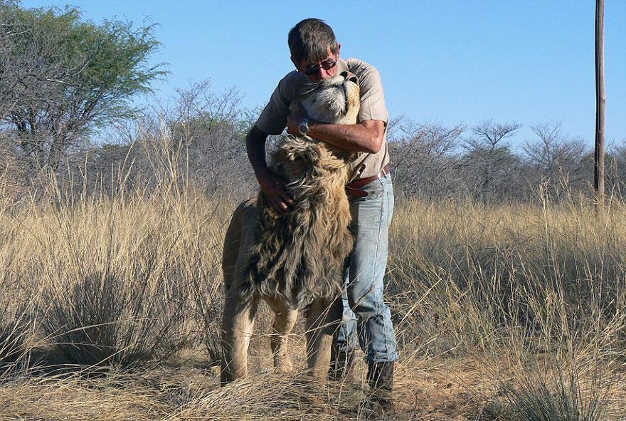 Лев 11 лет дружит с человеком, который его вырастил-7