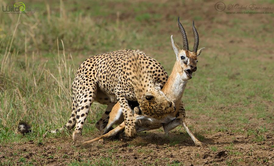 Охота гепарда на газель – захватывающие кадры из мира дикой природы 5