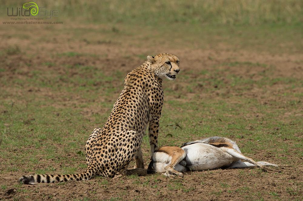 Охота гепарда на газель – захватывающие кадры из мира дикой природы 8