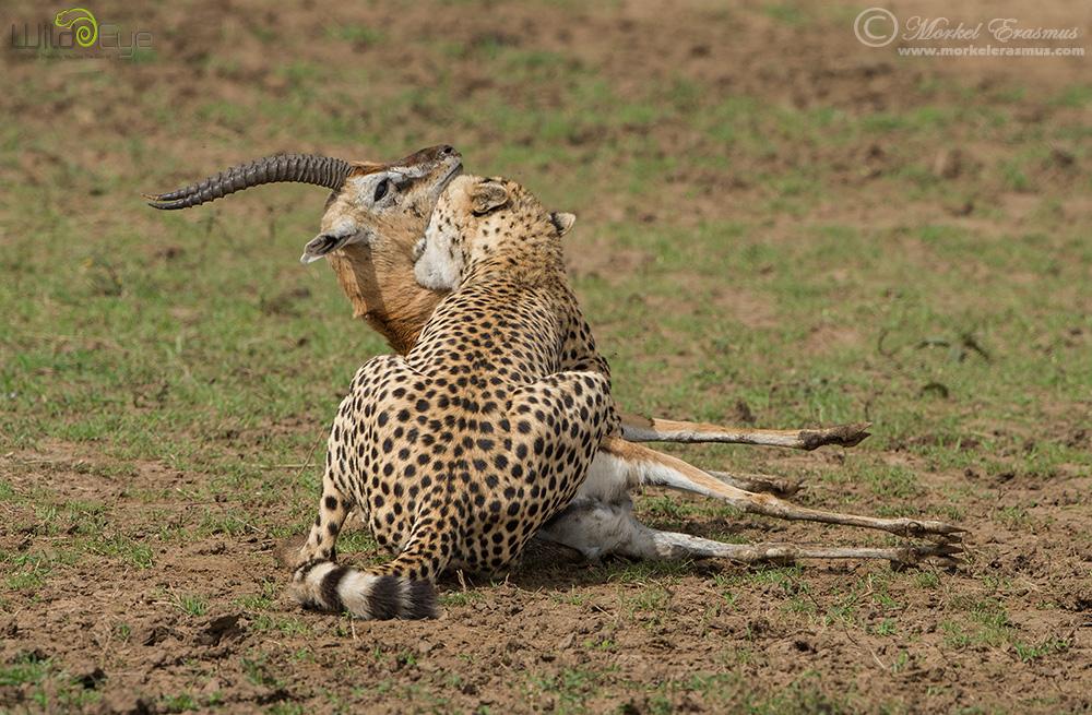 Охота гепарда на газель – захватывающие кадры из мира дикой природы 7
